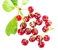 Пук зрелых вишен с листьями Стоковая Фотография RF
