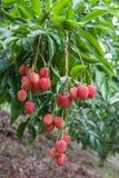 Пук зрелых свежих lychees вися вниз от Стоковые Фото