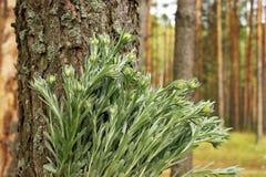 Пук излечивать целебные травы immortelle стоковое фото rf