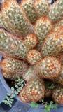 Пук кактуса Стоковые Изображения RF
