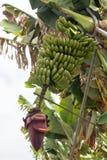 Пук канереечных бананов Стоковое Изображение
