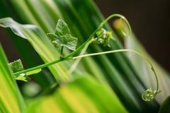 Пук картины текстуры лист тыквы плюща для предпосылки весны, окружающей среды и дизайна концепции экологичности Стоковые Фотографии RF