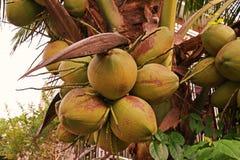 Пук кокоса для свежей воды кокоса, душистого кокоса или ароматичного кокоса Стоковое фото RF