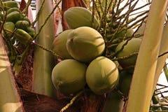 Пук кокоса для свежей воды кокоса Стоковое Изображение RF