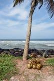 Пук кокосов на том основании Стоковые Изображения