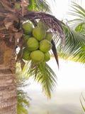 Пук кокосов Стоковое фото RF