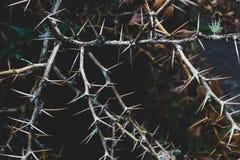 Пук коричневых сухих терновых ветвей стоковые фотографии rf