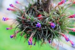 Красивейшие цветки Tillandsia Стоковое Изображение RF