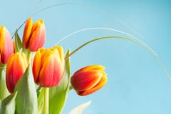 Пук красного и желтого тюльпана цветет на напористой голубой предпосылке против детенышей весны цветка принципиальной схемы предп Стоковая Фотография