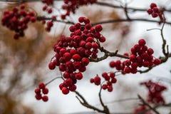 Пук красной рябины Стоковое Фото