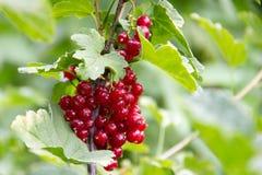Пук красной смородины среди зеленых листьев стоковые фото