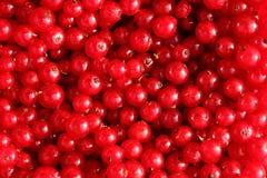 Пук красной смородины Стоковые Фото