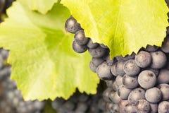 Пук красных виноградин в лозе Стоковое Изображение