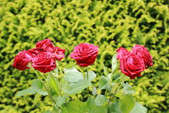 Пук красных роз с зеленой предпосылкой Стоковые Изображения RF