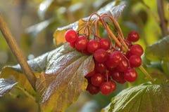 Пук красных ягод рябины стоковые изображения
