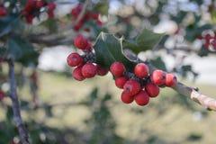 Пук красных ягод Стоковое Изображение