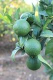 Пук лимонов зрея Стоковое фото RF