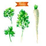 Пук, листья и корень петрушки изолированные на белой иллюстрации акварели Стоковое фото RF
