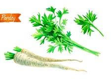 Пук, листья и корни петрушки изолированные на белой иллюстрации акварели Стоковое Фото