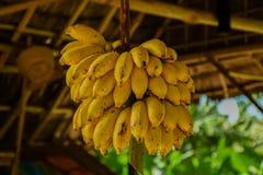 Пук малых желтых бананов Стоковые Изображения