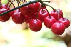 пук малых одичалых ягод Стоковое фото RF