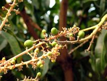 Пук мангоа Стоковое Изображение RF
