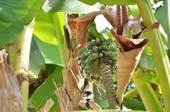 Пук малых незрелых бананов Стоковые Изображения RF