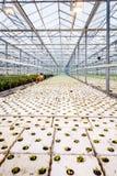 Пук младенца засаживает расти внутри баков внутри greenh Стоковое Изображение RF