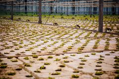 Пук младенца засаживает расти внутри баков внутри greenh Стоковое Изображение