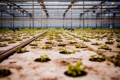 Пук младенца засаживает расти внутри баков внутри greenh Стоковые Фото