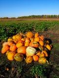 Пук оранжевых желтых тыкв на поле зеленой травы Сбор осени в горячем солнечном дне Поздравительная открытка хеллоуина стоковое изображение