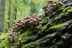 Пук осеннего грибка меда Стоковые Изображения RF