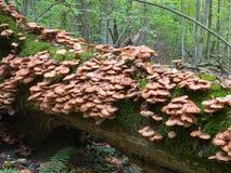 Пук осеннего грибка меда Стоковое фото RF