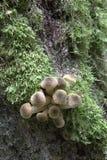 Пук осеннего грибка меда Стоковое Фото