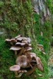Пук осеннего грибка меда Стоковые Фотографии RF