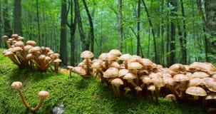 Пук осеннего грибка меда Стоковые Фото