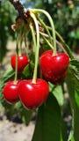 Пук очень вкусных сочных зрелых красных вишен на дереве в саде Стоковое Изображение RF