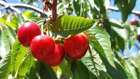 Пук очень вкусных сочных зрелых красных вишен на дереве в саде Стоковые Фото