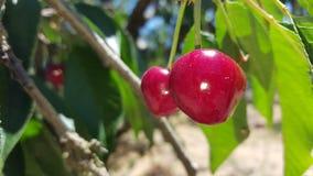 Пук очень вкусных сочных зрелых красных вишен на дереве в саде Стоковое Фото