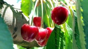 Пук очень вкусных сочных зрелых красных вишен на дереве в саде Стоковое фото RF