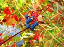 Пук одичалых виноградин Стоковые Фото