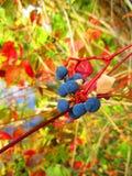 Пук одичалых виноградин Стоковое Изображение