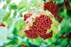 пук падает viburnum красного цвета guelder розовый Стоковое Изображение