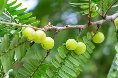 Пук плода крыжовника семени индийский стоковое фото