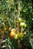 Пук плодоовощей томата вишни на ветви завода Стоковое фото RF