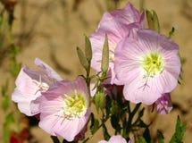 Пук показных цветков первоцвета вечера Стоковые Фотографии RF