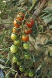 Пук почти зрелых томатов Стоковая Фотография