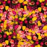 Пук предпосылки тюльпанов весны Стоковые Фото