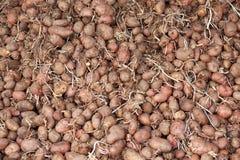 Пук прорастанных картошек семени при ростки на весна засаживая, высушенные под сенью Стоковые Фотографии RF