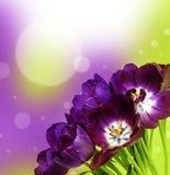 Пук пурпуровых тюльпанов Стоковые Фотографии RF